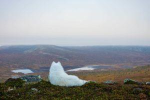 En vit hund som spanar över en fjälldal i Offerdal i Jämtland.